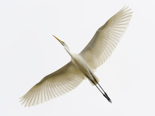 Great White Egret Egretta Alba...