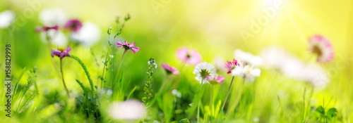 In de dag Madeliefjes Green field with daisy blossoms. Closeup of pink spring flowers on the ground