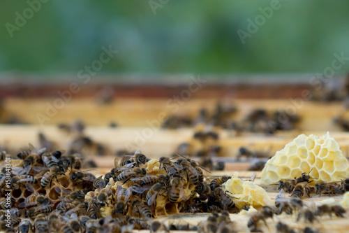 apiculture Wallpaper Mural