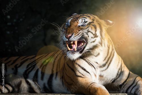 Obrazy na płótnie Canvas Close up tiger.
