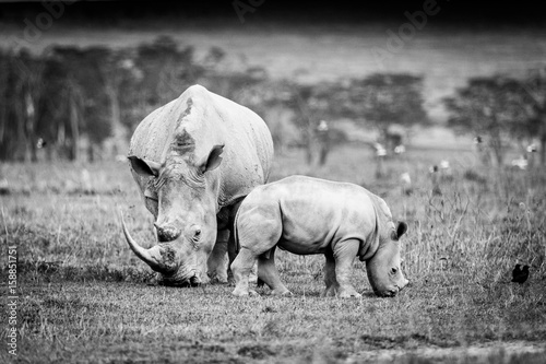 Vászonkép White Rhino in Lake Nakuru, Kenya