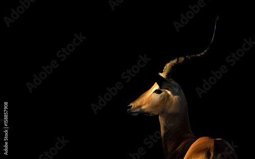 Poster Antilope Male Impala, Botswana