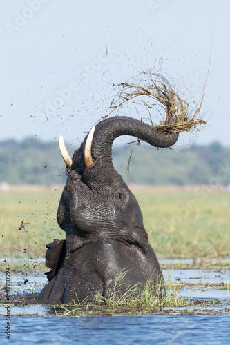 African Elephant feeding, Chobe River, Botswana