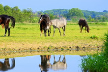 Meet Me At The Riverside, A Group Of Young Wild Horses Next To A River