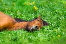 Bay Horse Sleep On Spring Gree...
