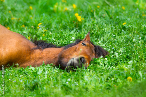 Cuadros en Lienzo Bay horse sleep on spring green grass