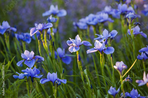 A group of sun dappled blue Siberian iris.