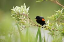 Redwing Blackbird On A Branch