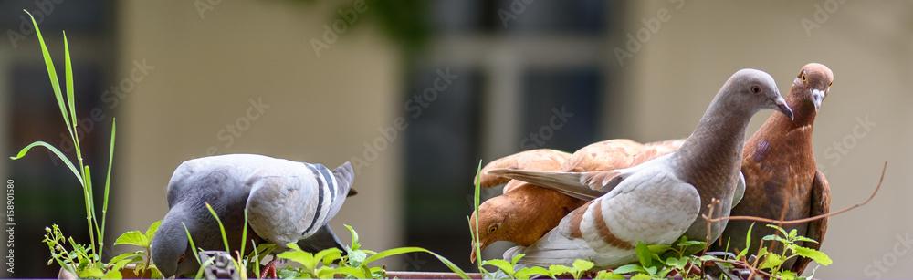 Lustige Tauben bei der Fütterung  - Stadttauben