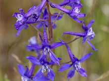Blue Upland Larkspur - Delphinium Nuttallianum