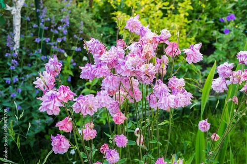 Valokuva Aquilegia flowers bloom in the garden.