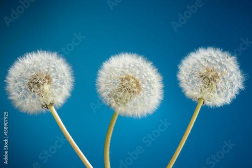Three dandelion on blue background