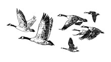 Flock Of Wild Geese.