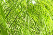 canvas print picture Green bamboo background