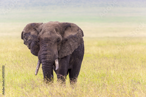 Staande foto Afrika Old bull elephant Serengeti National Park Tanzania Africa