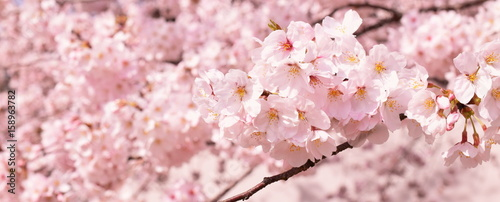 Tuinposter Kersenbloesem 満開の桜の花、クローズアップ