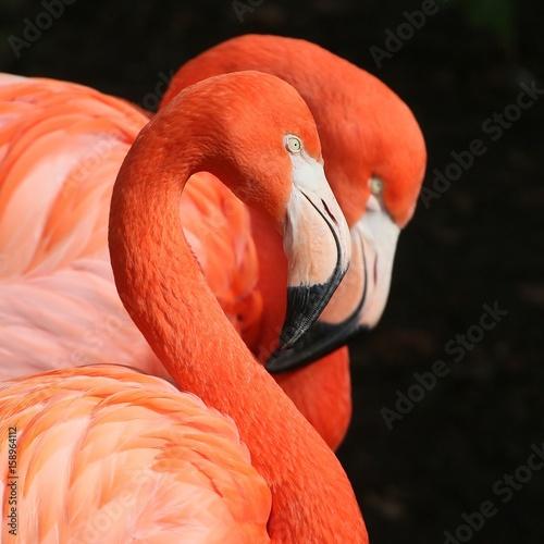 Pair of American or Caribbean flamingo (Phoenicopterus ruber) in close-up.
