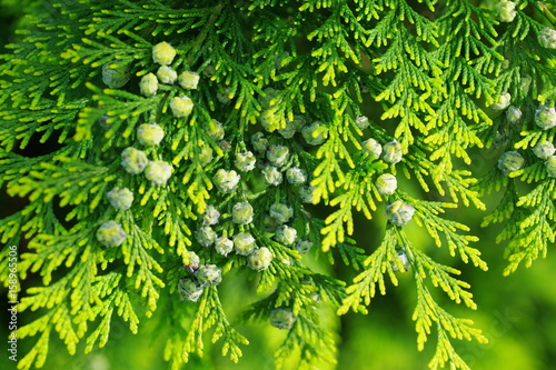 thuja branch with cones Fototapet