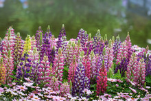 Lupinus In The Garden After Th...
