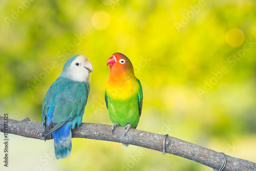 Blue and green Lovebird parrots sitting together on a tree branch.Sunshine light evening