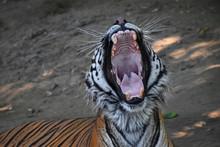 Close Up Portrait Of Sumatran ...