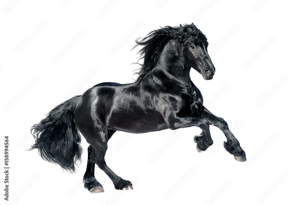 Fototapety, obrazy: black friesian horse isolated on white background