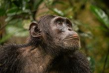 Portrait Of Old Chimpanzee In ...