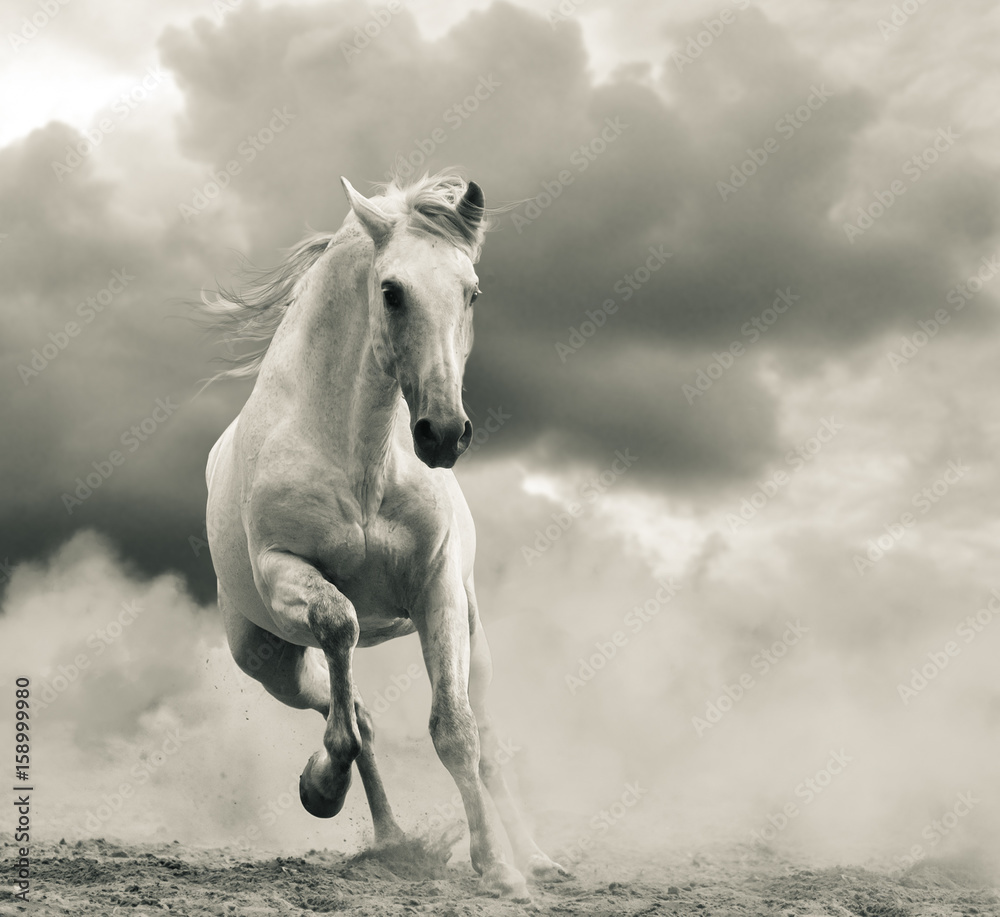 Fototapeta andalusian stallion running under the stormy skies