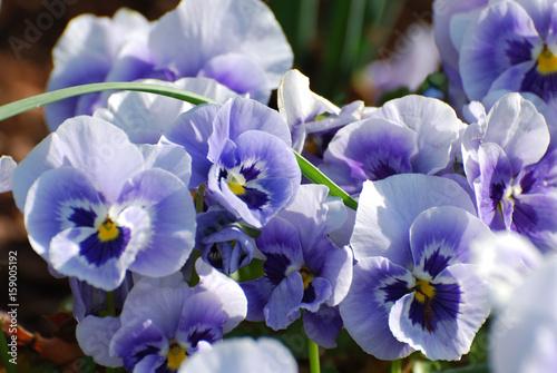 Pansies Purple and White Pansies in Full Bloom
