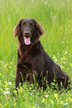 Flat Coated Dog Retriever Sitting In The Meadow