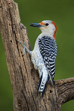 Female Red-bellied Woodpecker ( Melanerpes Carolinus) Clinging To A Stump With A Seed In Her Mouth In Front Of A Green Background.