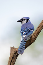 Blue Jay ( Cyanocitta Cristata) Looking Back Over His Shoulder While Perched On A Branch In Front Of A Blue Sky Background.