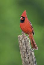 Male Northern Cardinal (Cardin...