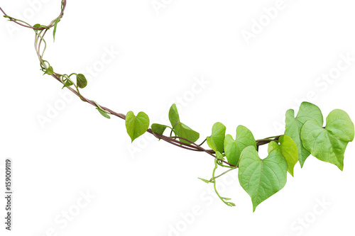 Heart shaped greenery leaves of obscure morning glory ipomoea heart shaped greenery leaves of obscure morning glory ipomoea obscura climbing vine plant isolated mightylinksfo