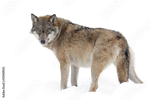 Foto op Canvas Wolf Grey wolf