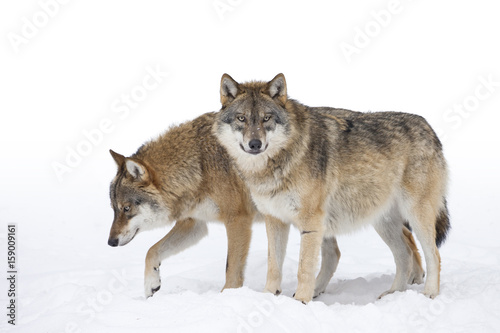 Two Grey wolves