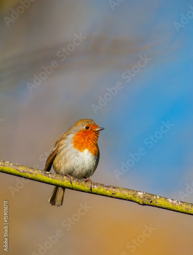 Staande foto Vogel cute little red robin bird perched on a tree branch in the orange glow light of sunset