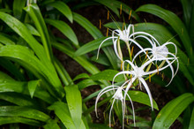 White Spider Lily Flowers And ...