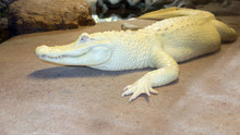 Albino Alligator Or White Miss...