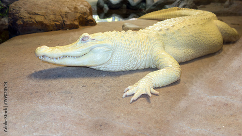 Albino Alligator or white Mississippian alligator resting next to the river rocks, North America