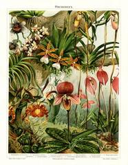 Panel Szklany Botaniczne Orchids (from Meyers Lexikon, 1896, 13/216/217)