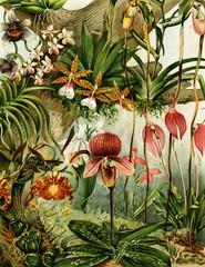 Panel Szklany Podświetlane Egzotyczne Orchids (from Meyers Lexikon, 1896, 13/216/217)