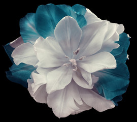 Fototapeta Do hotelu White-turquoise tulip flower on black isolated background with clipping path. no shadows. Closeup. Nature.