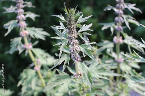 Plakat Motherwort, lecznicze rośliny