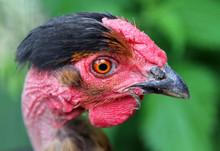 Portrait Of Naked Neck Chicken
