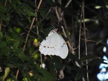 Mariposa Morfo Blanca (Morpho ...