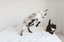 Goat And Kitten