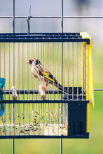 Singing Contest Goldfinch On A Little Bird Cage
