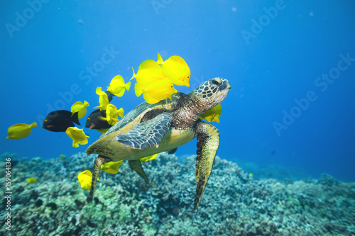 Poster Tortue Green sea turtle being cleaned by yellow tangs