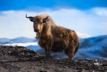 Yak On The Mountain